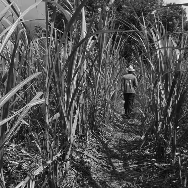 La culture de la canne à sucre est un point important de l'histoire de Sainte-Marie
